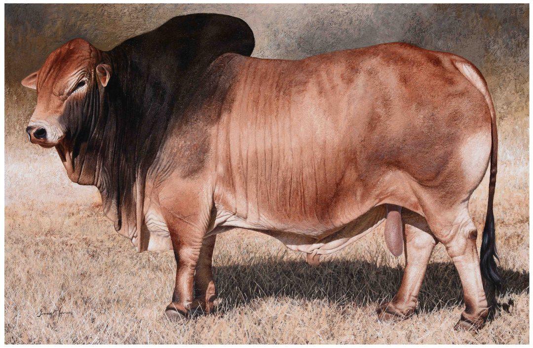 Indlovu Boran Bull